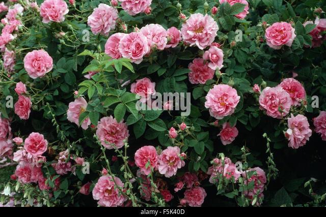 rose jacques cartier stock photos rose jacques cartier. Black Bedroom Furniture Sets. Home Design Ideas