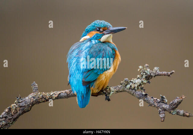 kingfisher latin singles In short and plain reading this latin maxim implies that if you  vijay mallya killed kingfisher  if you don't fly a single flight for 18 months your .