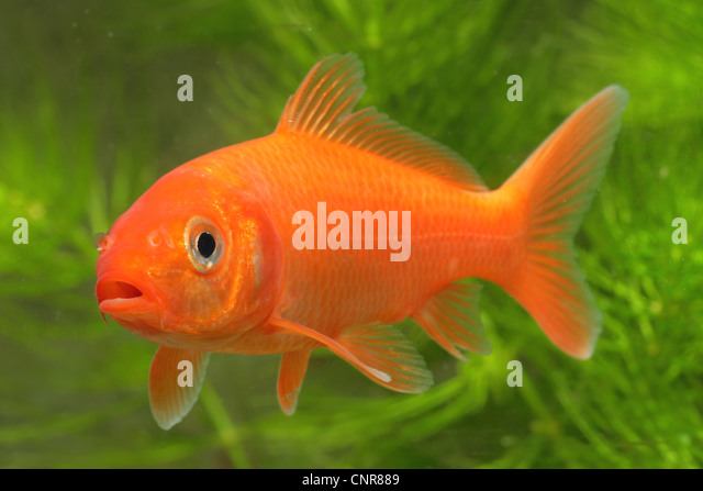 Koi carp cyprinus carpio stock photos koi carp cyprinus for Orange koi carp