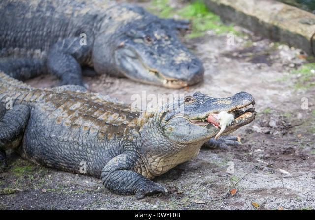 Alligator Restaurant St Augustine