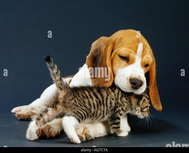 Beagle Puppy And Cat Stock Photos & Beagle Puppy And Cat ... Tabby Cat Cartoon Drawing