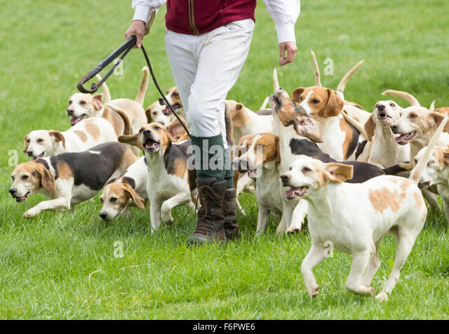 Beagle hunting fox - photo#28