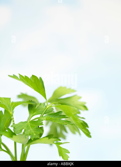 how to use flat leaf parsley