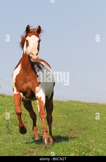 American Paint Horse Head Stock Photos & American Paint ...