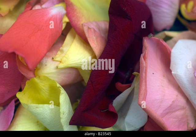 Environment nature crumbling decay stock photos for Multi colored rose petals
