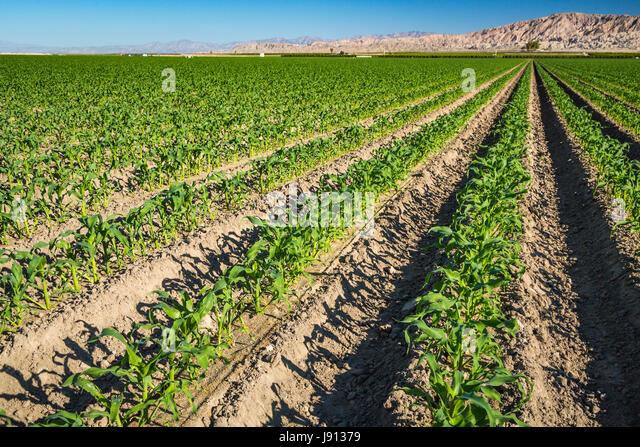 Corn Crop Row Stock Photos & Corn Crop Row Stock Images ...