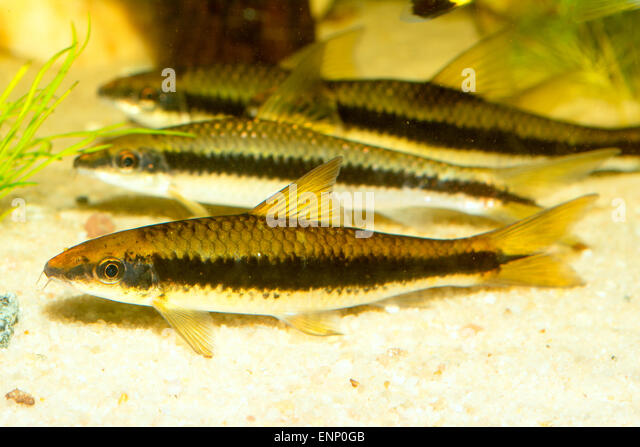 Barbus stock photos barbus stock images alamy for Tiger striped fish