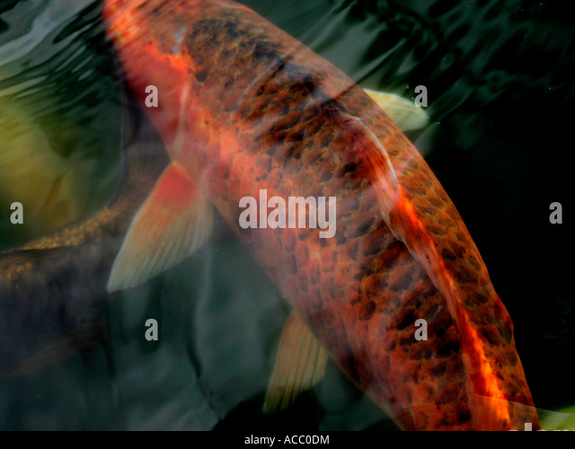 Koi carp stock photos koi carp stock images alamy for Orange koi carp