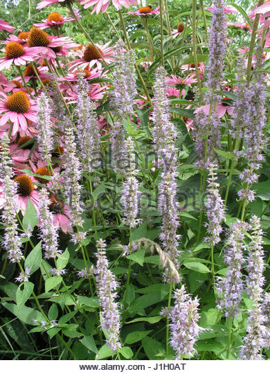 giant hyssop blue fortune - photo #27