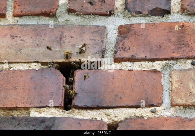 Masonry Bee Stock s & Masonry Bee Stock Alamy