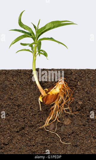 Germination Tree Stock Photos & Germination Tree Stock ...