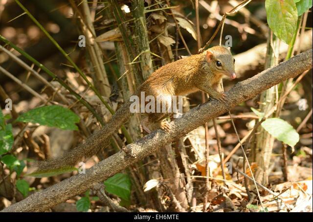 Tupaia Stock Photos & Tupaia Stock Images - Alamy