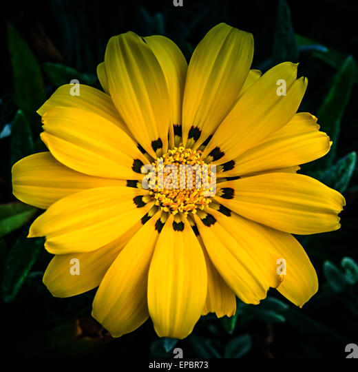 daisy like flower stock photos  daisy like flower stock images, Beautiful flower