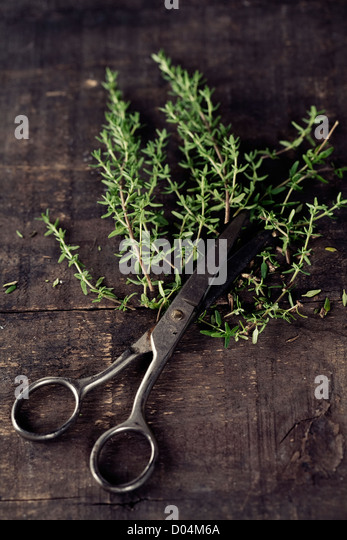 how to cut fresh thyme from plant