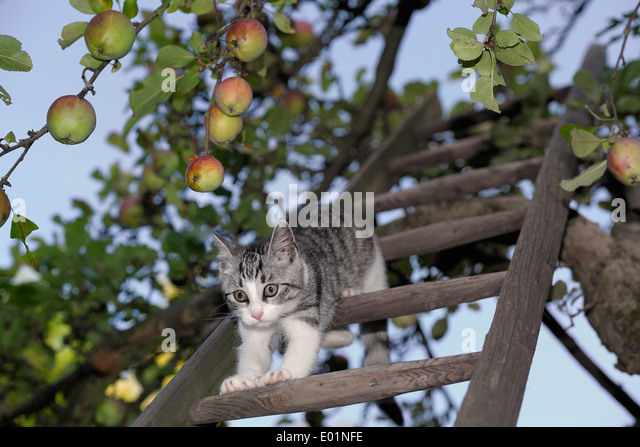 cats on appletrees domestic cat tabby and white kitten a ladder in an apple tree germany trees wandsticker