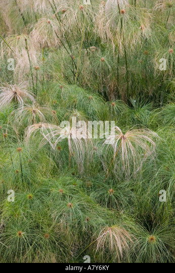 Ornamental Grasses Kenya : Papyrus grass stock photos images page