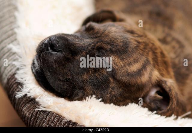 Staffie Puppy Stock Photos & Staffie Puppy Stock Images ...