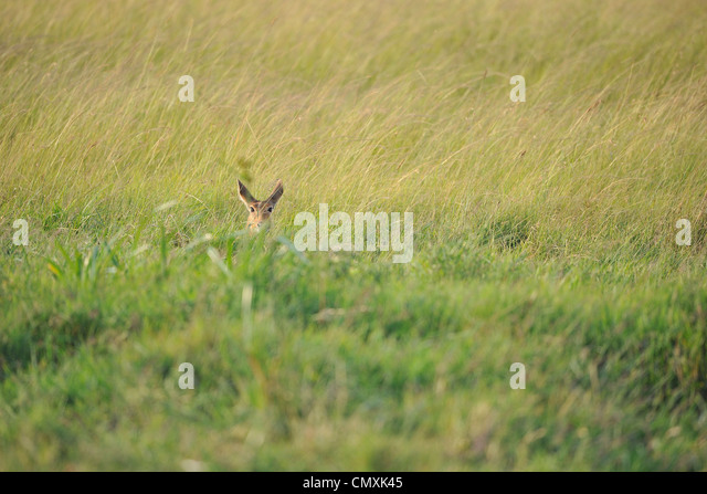 Ornamental Grasses Kenya : Swamp grasses stock photos images alamy