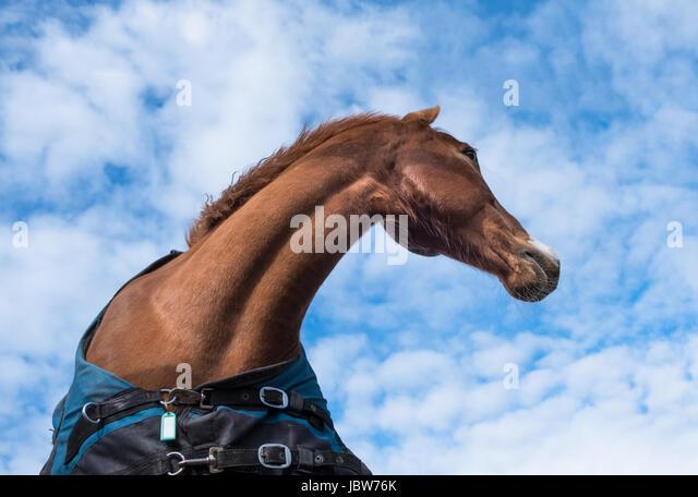 Brown horse portrait outside against blue sky - Stock Image