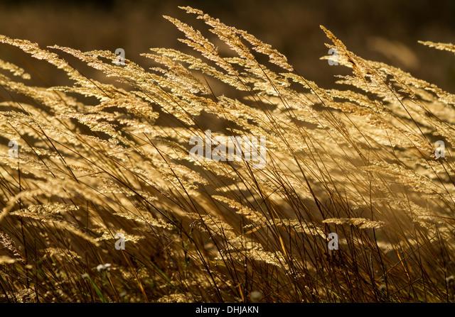 Harmony Grass - Cecilia / Mrs Richie