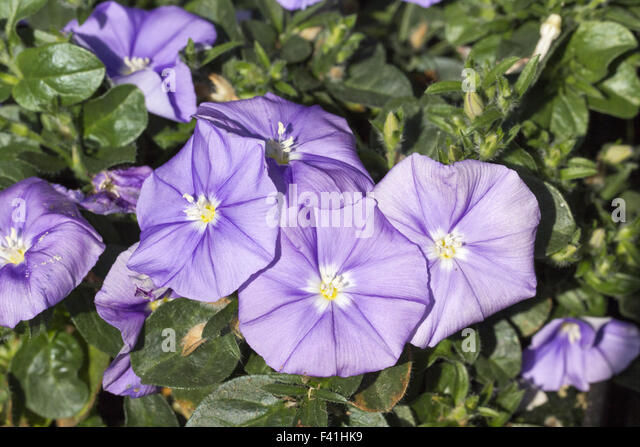 convolvulus garden stock photos convolvulus garden stock images alamy. Black Bedroom Furniture Sets. Home Design Ideas