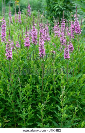 Plante vivace stock photos plante vivace stock images for Fleurs dans un jardin