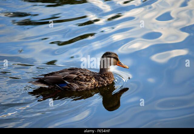 Beak mallard stock photos beak mallard stock images alamy for Duck pond water
