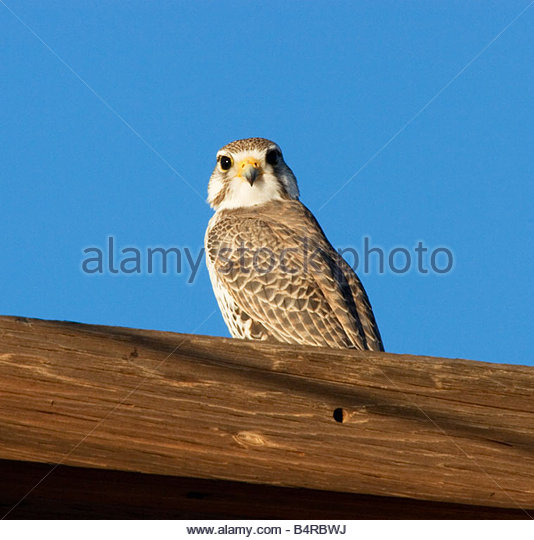 Mexican Food Falcon