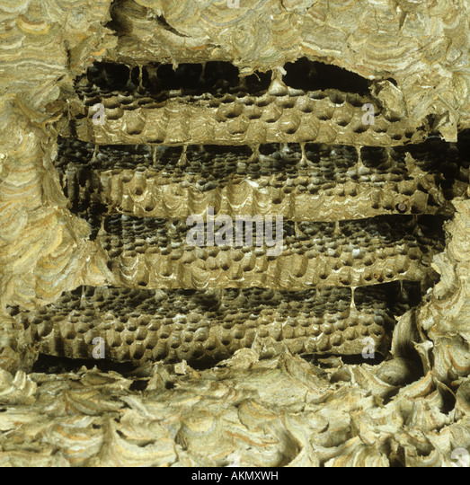 Wasps Nest Stock Photos & Wasps Nest Stock Images - Alamy