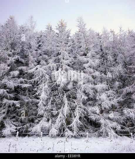 spruce tree snow - photo #14