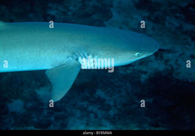 Whitetip Reef Shark   Triaenodon Obesus   Swimming Near The Ocean Floor    Stock Image
