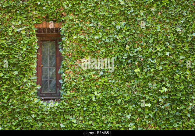 how to grow ivy on a wall indoors