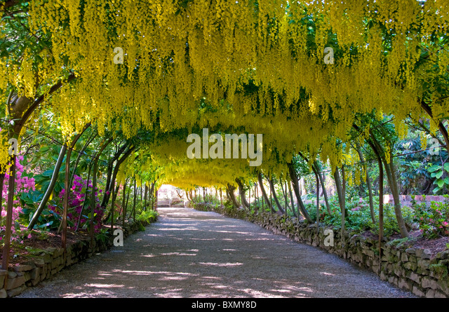 Mesmerizing Bodnant Laburnum Arch Stock Photos  Bodnant Laburnum Arch Stock  With Exquisite The Laburnum Arch Bodnant Gardens Near Colwyn Bay Clwyd North Wales With Lovely Yasmin Garden Also Garden Kitchen Afternoon Tea In Addition Best Petrol Lawn Mower For Large Gardens And Kew Gardens Funding As Well As Garden Flowers Ireland Additionally Hilton Garden Inn Miami Airport West From Alamycom With   Exquisite Bodnant Laburnum Arch Stock Photos  Bodnant Laburnum Arch Stock  With Lovely The Laburnum Arch Bodnant Gardens Near Colwyn Bay Clwyd North Wales And Mesmerizing Yasmin Garden Also Garden Kitchen Afternoon Tea In Addition Best Petrol Lawn Mower For Large Gardens From Alamycom