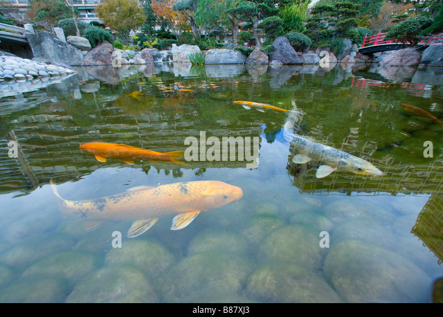 Koi pond stock photos koi pond stock images alamy for Carp fish pond
