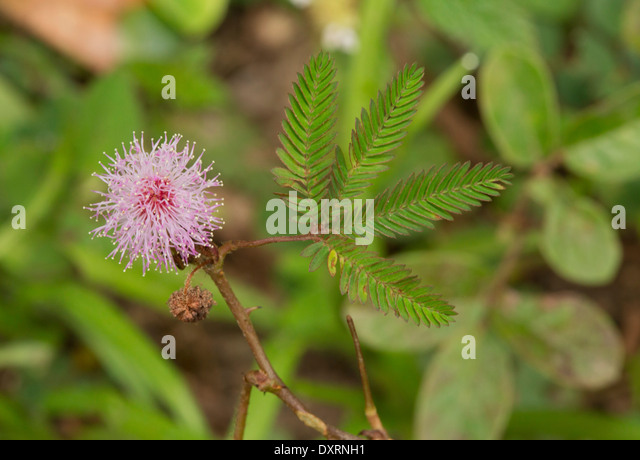 sensitive plant stock photos sensitive plant stock images alamy. Black Bedroom Furniture Sets. Home Design Ideas
