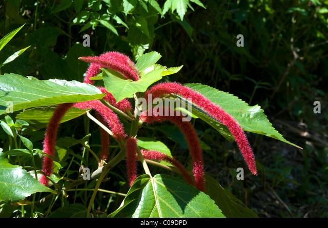 Tropical Island Flowers: Flower Cook Islands Stock Photos & Flower Cook Islands