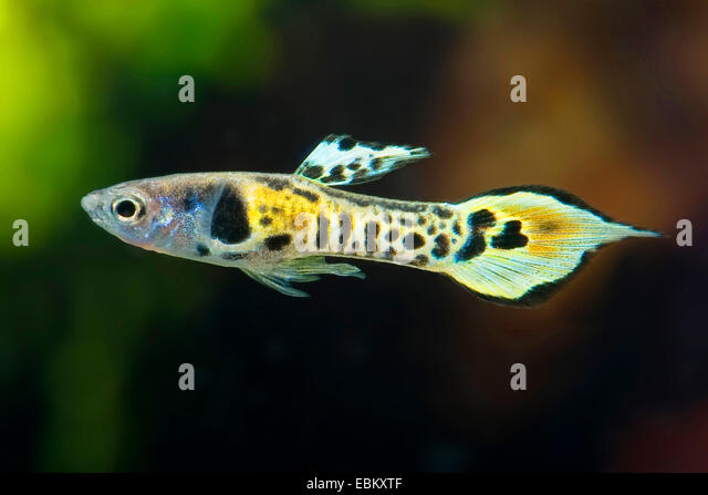 Guppy stock photos guppy stock images alamy for Endler guppy
