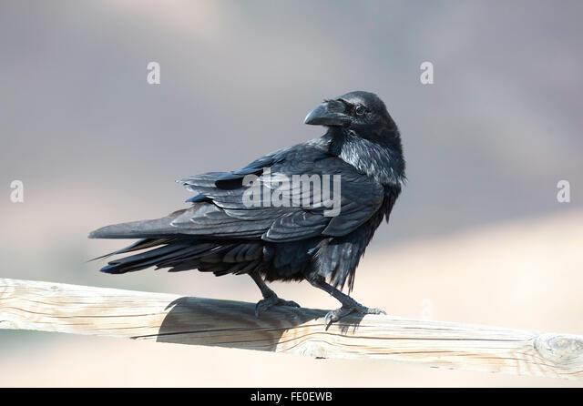 raven spain