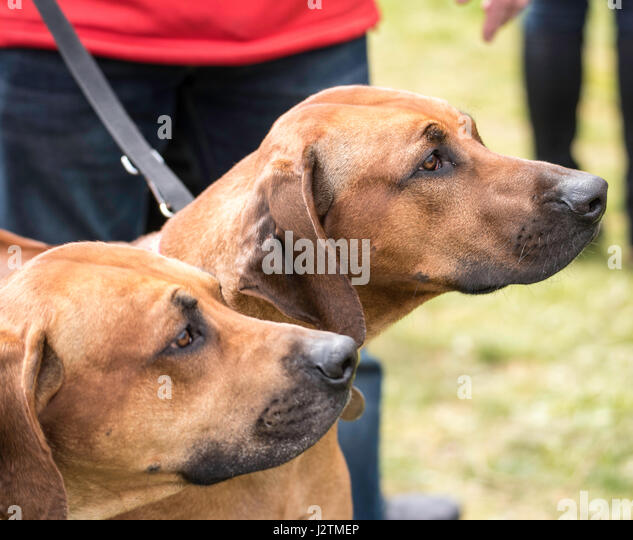 All About Dogs And Robin Hood Show Brentwood