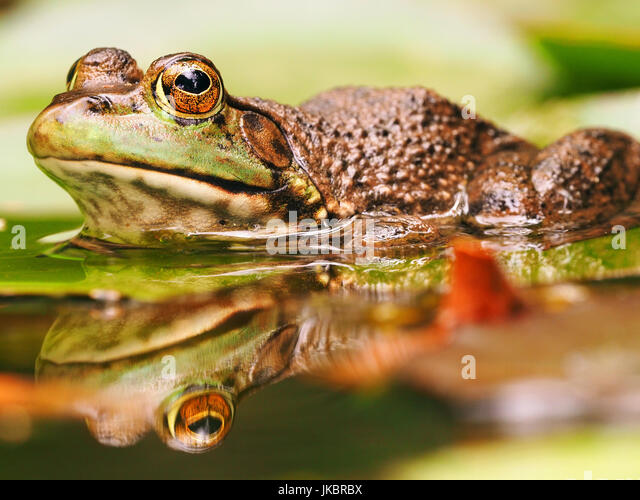L Clamitans Green Frog Floating On...