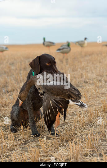 Goose Hunting Stock Photos Amp Goose Hunting Stock Images