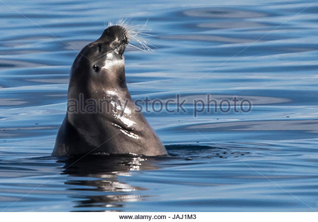 A bearded seal, Erignathus barbatus, surfacing to breathe and look about. - Stock Image