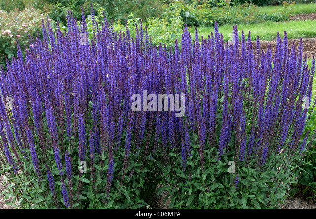 salvia nemorosa blue stock photos salvia nemorosa blue stock images alamy. Black Bedroom Furniture Sets. Home Design Ideas