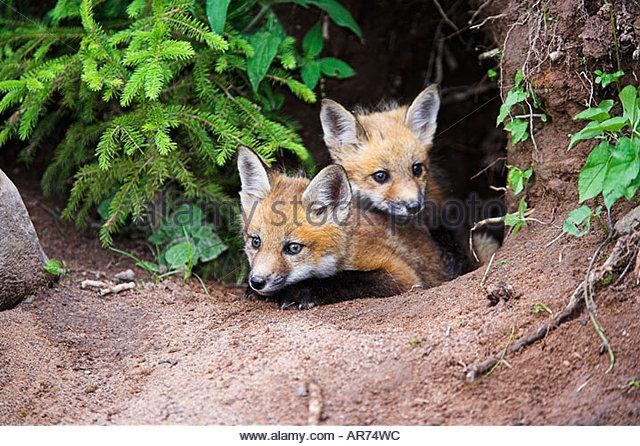 Young Fuchs Vulpes Vulpes Junger Hund Sechs Wochen Vor Dass H 246 Hle