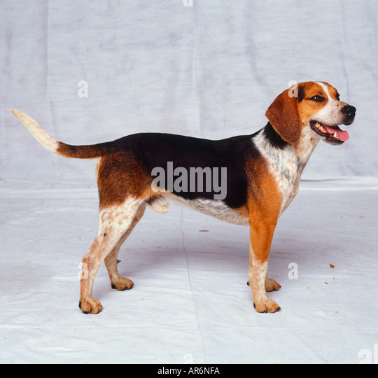 hound hunting stock photos amp hound hunting stock images