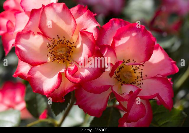 ivory rose stock photos ivory rose stock images alamy. Black Bedroom Furniture Sets. Home Design Ideas
