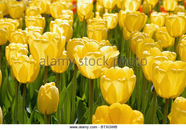 тюльпан голден парад фото
