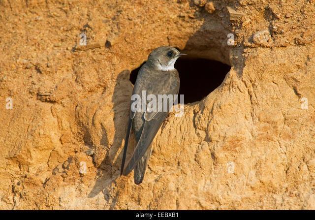 Bank Swallow Range