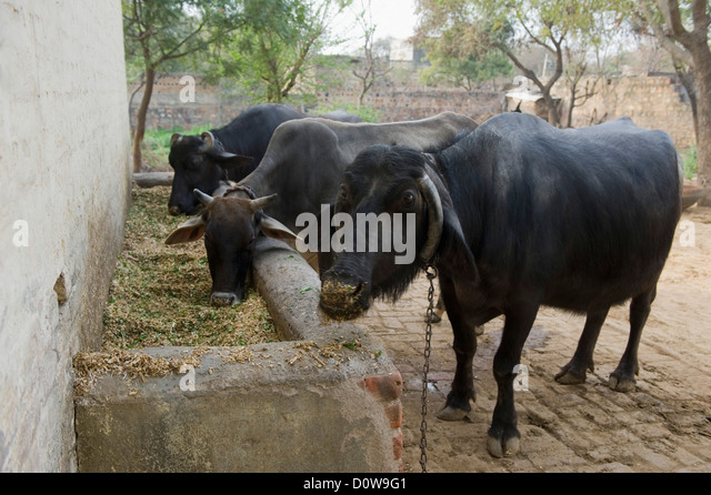 H F Cattle India Cow Shed India Stock P...