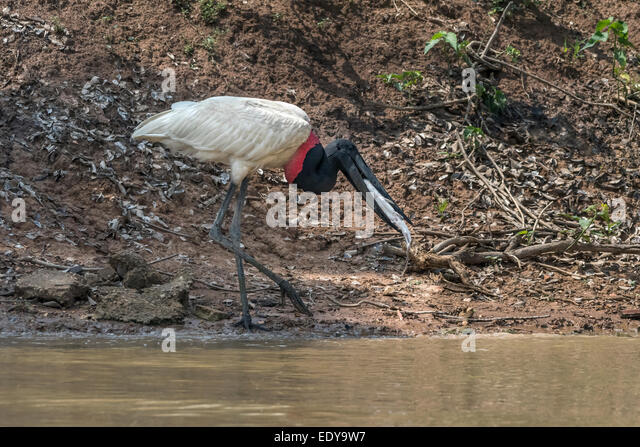 Jabiru stork swallowing a long whiskered catfish, Rio Pixaim, Pantanal ...